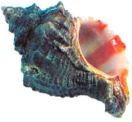 chilazon murex trunculus snail