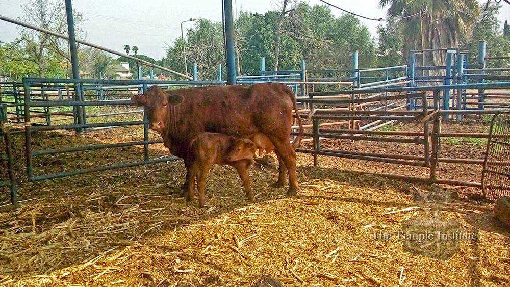 Red Heifer Born
